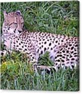 Sleepy Cheetah Canvas Print