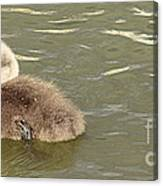 Sleepy Cygnet Canvas Print
