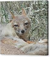 Sleepy Fox Canvas Print