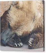 Sleepy Grizzly Bear Canvas Print