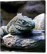 Sleepy Iguana Canvas Print