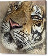 Sleepy Tiger Portrait Canvas Print