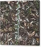 Slender Ladies Tresses Orchids Canvas Print