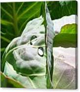 Sliced Cabbage Canvas Print