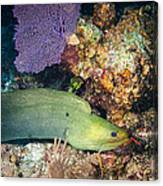 Slithering Moray Canvas Print