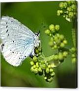 Small Blue Butterfly Canvas Print