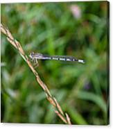Small Blue Dragonfly Canvas Print