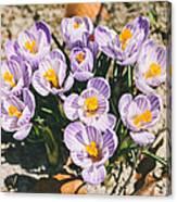 Small Crocus Flower Field Canvas Print