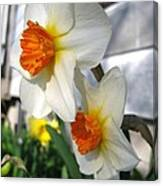 Small-cupped Daffodil Named Barrett Browning Canvas Print