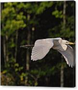 Small Egret Flying - C2730c Canvas Print