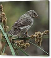 Small Ground-finch Female Feeding Canvas Print