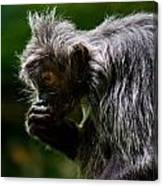 Small Monkey Eating Canvas Print