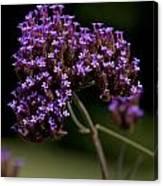 Small Purple Flowers On A Verbena Plant Canvas Print