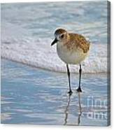 Small Sandpiper Canvas Print