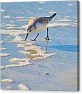 Small Sandpiper Looking For Dinner Canvas Print