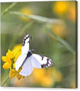 Small White Butterfly On Yellow Flower Canvas Print