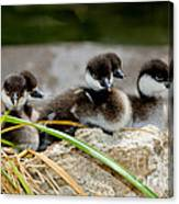 Smew Ducklings On Shore Canvas Print