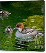 Smew With Ducklings Canvas Print