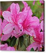 Smiling Azalea  Canvas Print