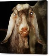 Smiling Egyptian Goat I Canvas Print