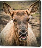 Smiling Elk Canvas Print
