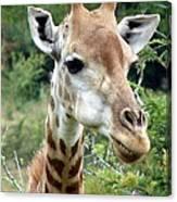 Smiling Giraffe Canvas Print