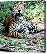 Smiling Jaguar Canvas Print