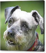 Smiling Schnauzer Canvas Print
