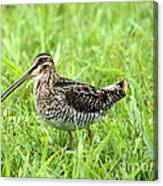 Smiling Snipe Canvas Print
