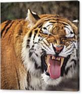 Smiling Tiger Endangered Species Wildlife Rescue Canvas Print