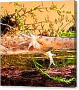 Smooth Or Common Newt  Canvas Print