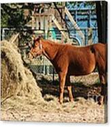 Snacking On Some Hay Canvas Print