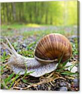 Snail Creeping Over A Forest Path Canvas Print