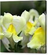 Snapdragons Group Of Yellow Cream Canvas Print