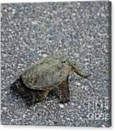 Snapping Turtle 3 Canvas Print