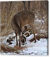 Sniffing Stag Canvas Print