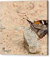 Snout Butterfly  Canvas Print
