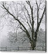 Snow And Pecan Tree Canvas Print