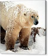 Snow Bear Canvas Print