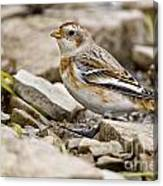 Snow Bunting Pictures 43 Canvas Print