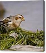 Snow Bunting Pictures 87 Canvas Print