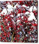 Snow Capped Berries Canvas Print