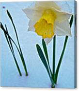 Snow-capped Daffodil On May 21 Near Des Chutes National Forest-or  Canvas Print