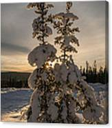 Snow Capped Sitka Spruce Canvas Print