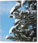 Snow-clad Pine Canvas Print