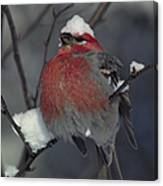 Snow Covered Pine Grosbeak Canvas Print