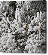 Snow Covered Pine Tree Canvas Print