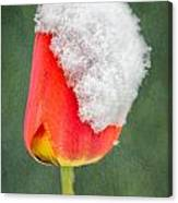 Snow Covered Tulip Canvas Print