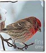 Snow Day Housefinch  Canvas Print