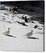 Snow Ducks Canvas Print